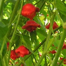 Glockenpaprika, rot