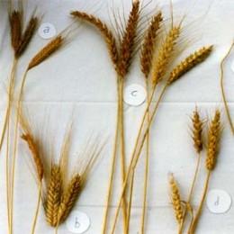 Große Evolutionsreihe Weizenvielfalt