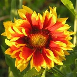 Präriekokardenblume gelb-rot