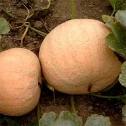 Kürbis Yellow Pumpkin (Gelber Zentner)