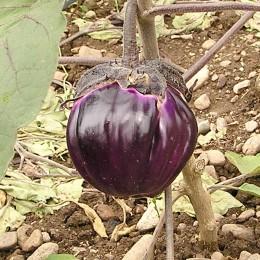 Aubergine Violetta di Firenze
