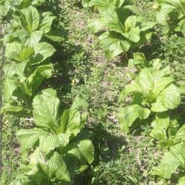 Asia-Salat Komatsuna