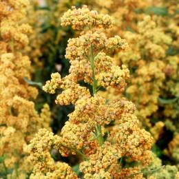 Quinoa Dave 407