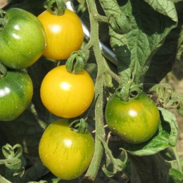 Salattomate Schönhagener Frühe