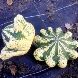 Pâtisson Jaune Panaché de Vert