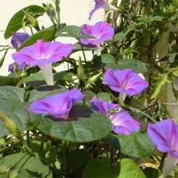 Prachtwinde, blau-violett