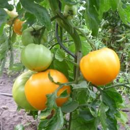 Fleischtomate Ochsenherz Orange