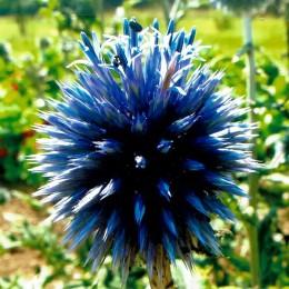 Blaue Kugeldistel