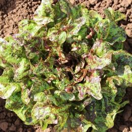 Eichblattsalat Flashy Butter Oak