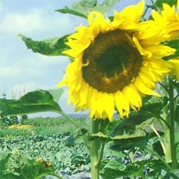 Riesensonnenblume