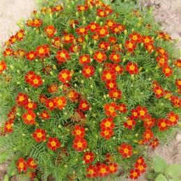 Tangerine Flämmchen