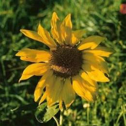 Sonnenblume Rostov Black